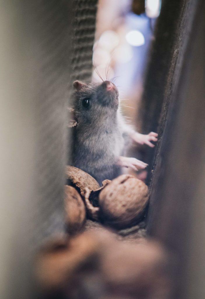 Plagas de ratas en las grandes ciudades como Madrid y Barcelona