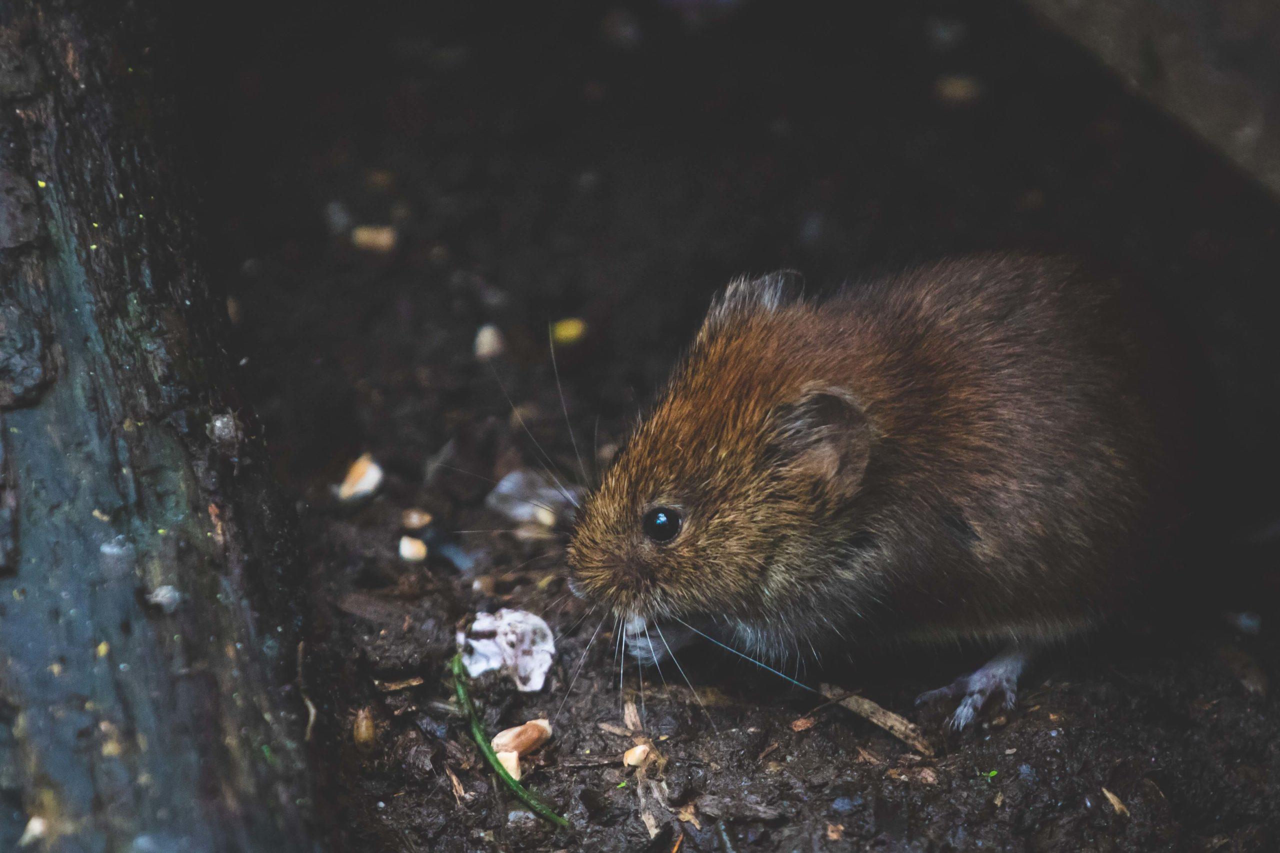 erradicar todo tipo de plagas de ratas y roedores